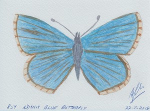 807 ADONIS BLUE BUTTERFLY